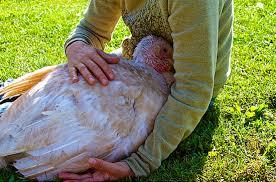 turkey-cuddling